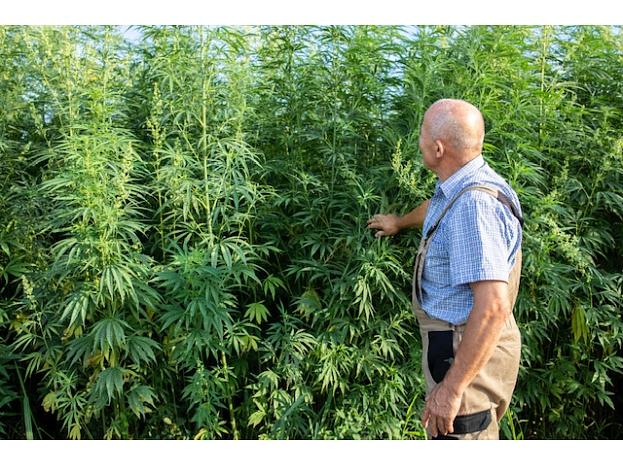portrait_senior_agronomist_looking_hemp_cannabis_plants_field_cannabis_sativa_plant