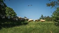 Liellopu bioloģiskās gaļas ražošana, piegāde