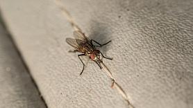 Pētījums: Mušas pārnēsā vairāk slimību nekā iepriekš tika uzskatīts