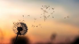 Polinoze jeb putekšņu alerģija:Kā to atšķirt no saaukstēšanās un ārstēt?