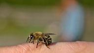 Kas jāzina par kodumiem un dzēlieniem kukaiņu aktivitātes laikā? Stāsta ekspertes