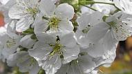 Pavasara alerģiju laiks ir sācies